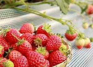 苺を1キロ使ったイチゴジュース